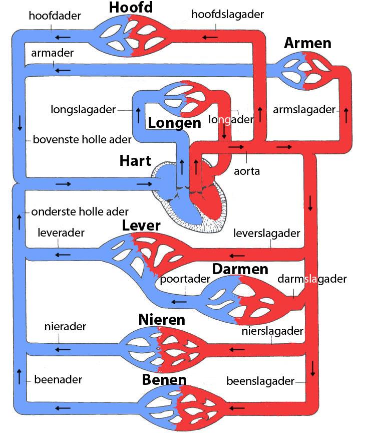 De grote en de kleine bloedsomloop.: liefdeslicht.com/wat-doen-wij/gezondheid/ademhaling.php